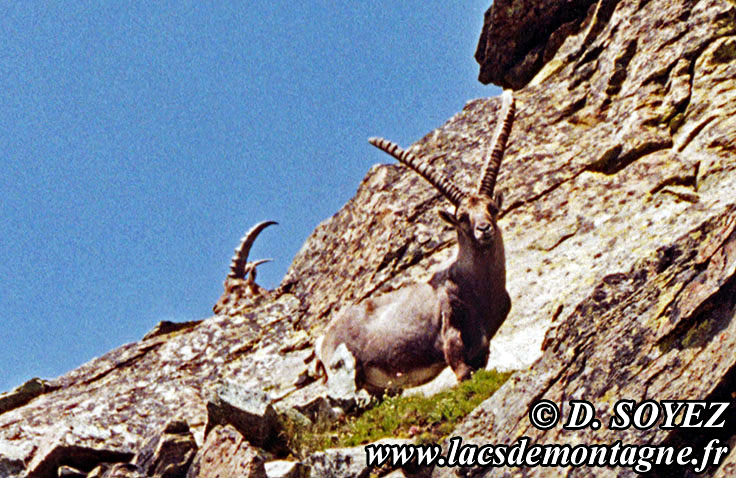 Bouquetin (Capra ibex) Cliché Dominique SOYEZ Copyright Reproduction interdite sans autorisation