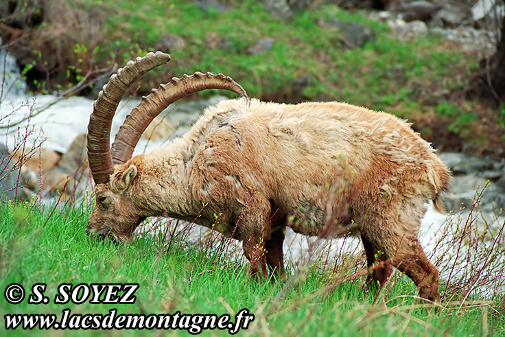 Photo n°20090501NHD_art_filtered Bouquetin (Capra ibex) Cliché Serge SOYEZ Copyright Reproduction interdite sans autorisation