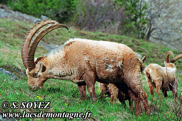 Photo n°20090502NHD_art Bouquetin (Capra ibex) Cliché Serge SOYEZ Copyright Reproduction interdite sans autorisation