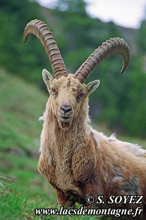 Photo n°20090504NHD_art Bouquetin (Capra ibex) Cliché Serge SOYEZ Copyright Reproduction interdite sans autorisation