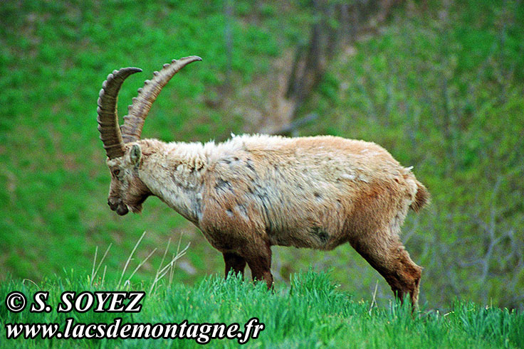 Photo n°20090514NHD_art Bouquetin (Capra ibex) Cliché Serge SOYEZ Copyright Reproduction interdite sans autorisation