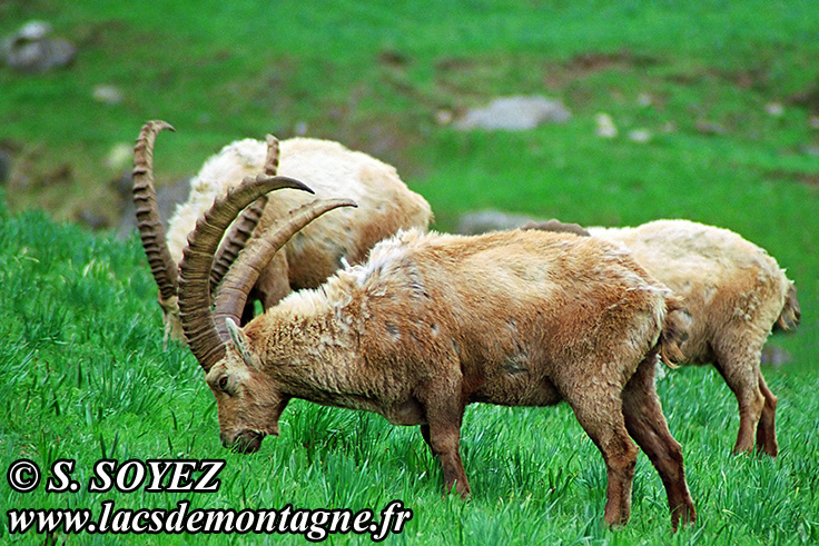 Photo n°20090520NHD_art_filtered Bouquetin (Capra ibex) Cliché Serge SOYEZ Copyright Reproduction interdite sans autorisation
