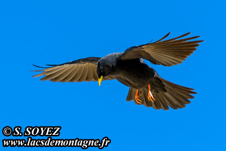 Chocard à bec jaune (Pyrrhocorax graculus) Cliché Serge SOYEZ Copyright Reproduction interdite sans autorisation