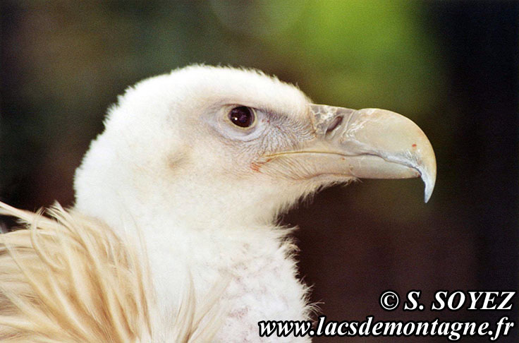 Photo n°20040821 Vautour fauve (Gyps fulvus) Cliché Serge SOYEZ Copyright Reproduction interdite sans autorisation