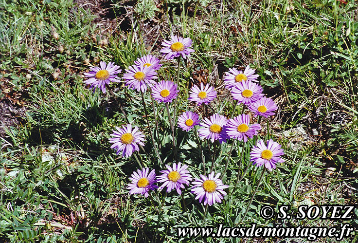 Photo n°20060701 Aster des Alpes (Aster alpinus) Cliché Serge SOYEZ Copyright Reproduction interdite sans autorisation