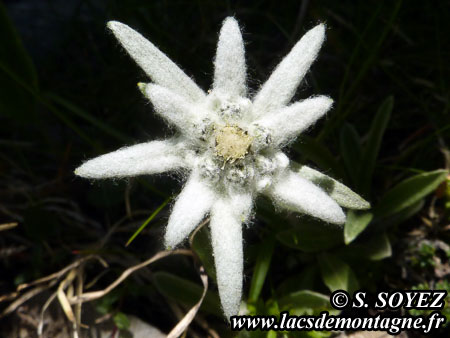 Edelweiss (Leontopodium alpinum) Cliché Serge SOYEZ Copyright Reproduction interdite sans autorisation