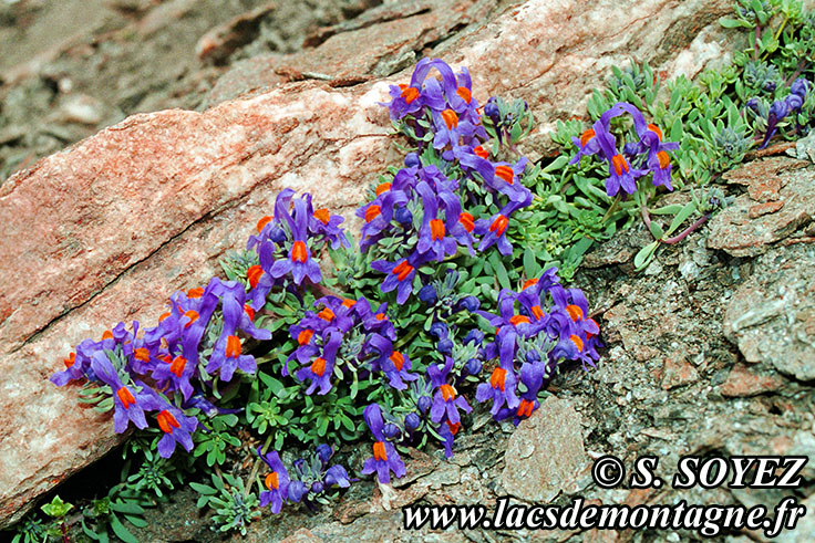Photo n°19990701NHD_art Linaire alpine (Linaria alpina) Cliché Serge SOYEZ Copyright Reproduction interdite sans autorisation