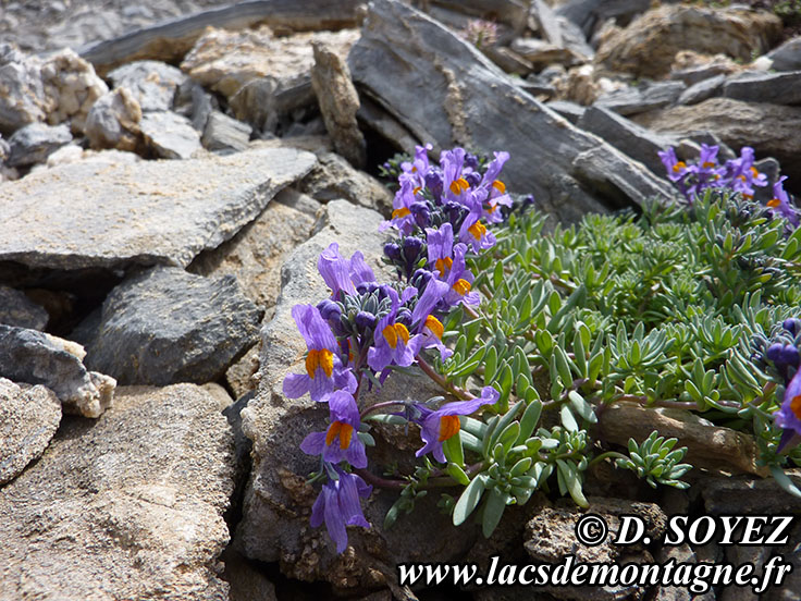 Photo n°201407007 Linaire alpine (Linaria alpina) Cliché Dominique SOYEZ Copyright Reproduction interdite sans autorisation