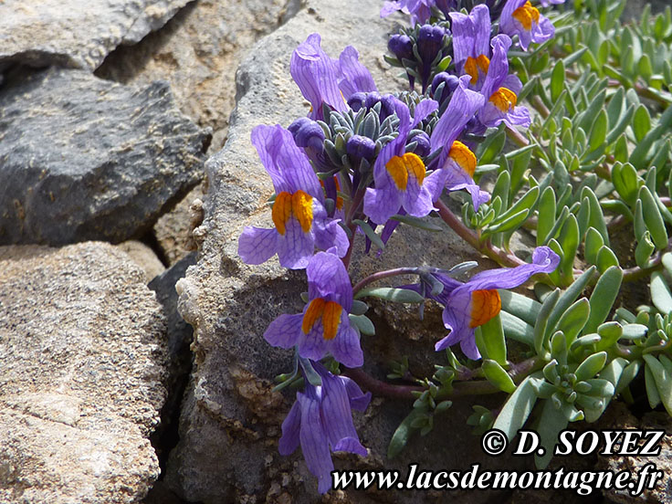 Photo n°201407010 Linaire alpine (Linaria alpina) Cliché Dominique SOYEZ Copyright Reproduction interdite sans autorisation