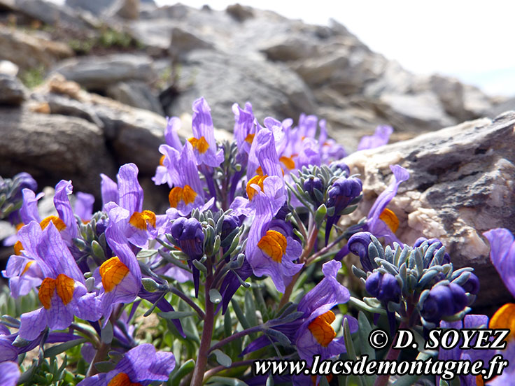 Photo n°201407011 Linaire alpine (Linaria alpina) Cliché Dominique SOYEZ Copyright Reproduction interdite sans autorisation