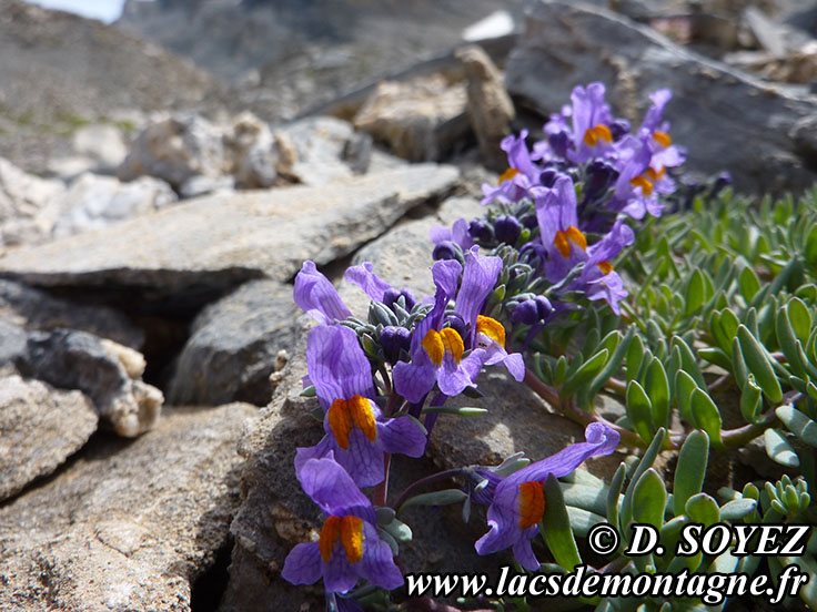 Photo n°201407013 Linaire alpine (Linaria alpina) Cliché Dominique SOYEZ Copyright Reproduction interdite sans autorisation