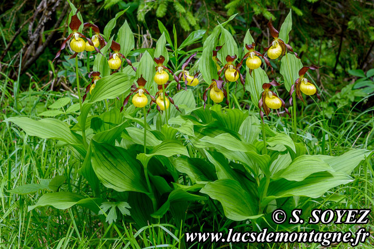 Photo n°201806001 Sabot de Vénus (Cypripedium calceolus) Cliché Serge SOYEZ Copyright Reproduction interdite sans autorisation