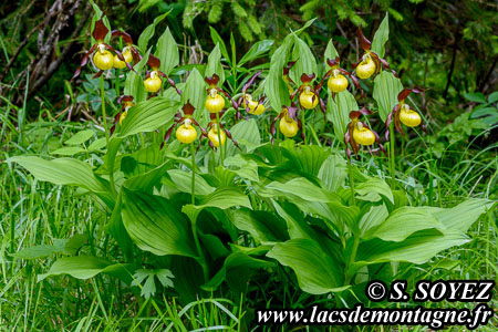 Sabot de Vénus (Cypripedium calceolus) Cliché Serge SOYEZ Copyright Reproduction interdite sans autorisation